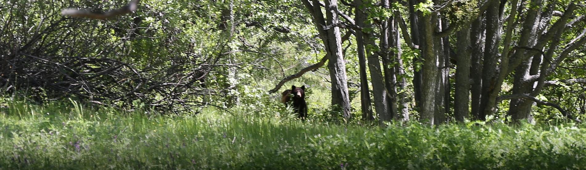 Black Bear on Grizzly Peak Preserve