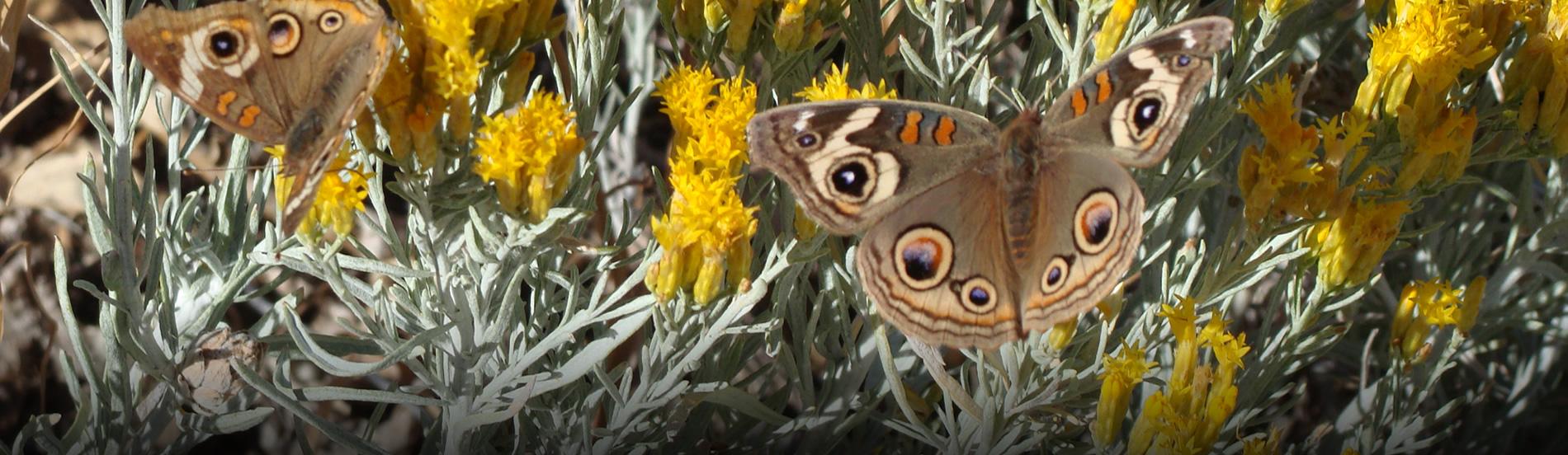 Buckeye Butterflies on Rabbit Brush