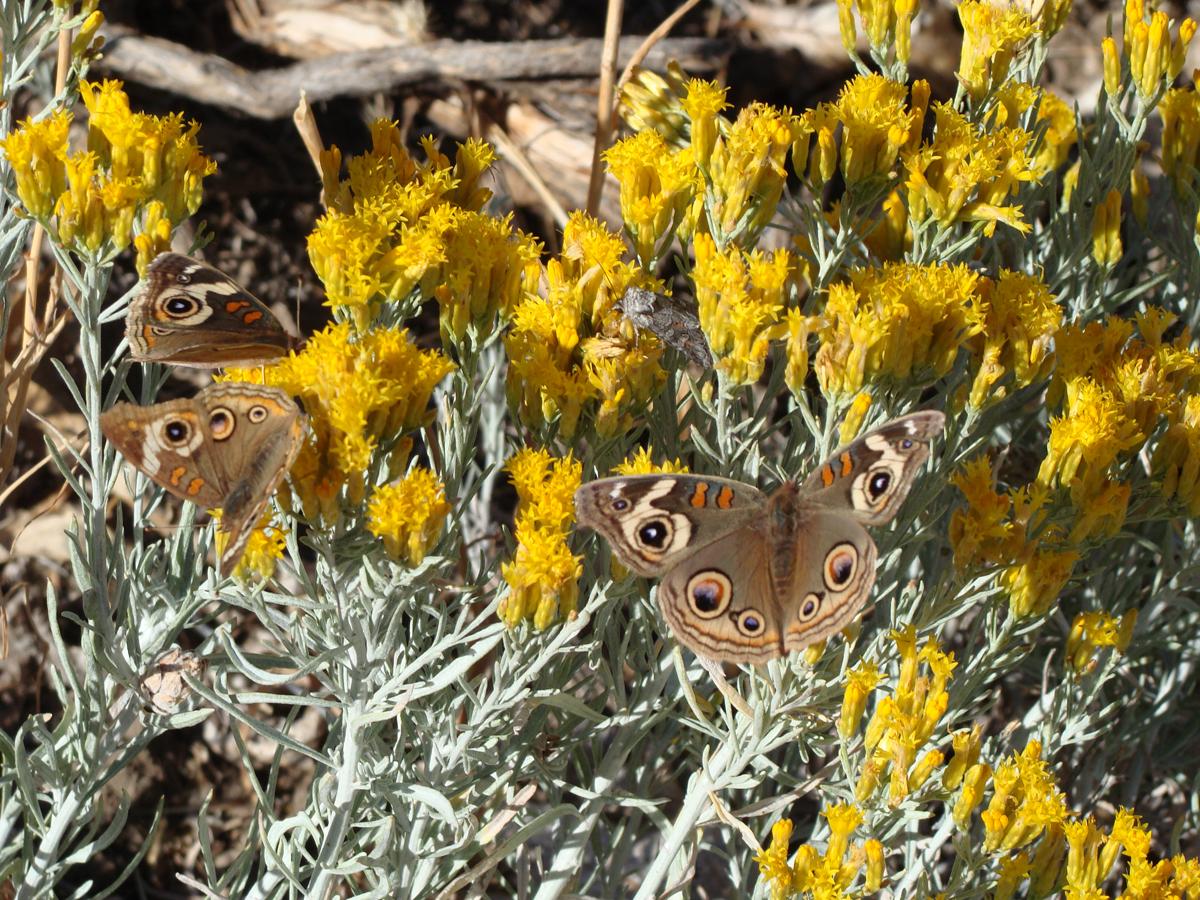 Common Buckeye Butterfly <em>(Junonia coenia)</em> nectaring on Rabbit Brush <em>(Ericamerica nauseous)</em>