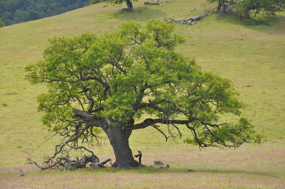 Open-grown (or savanniform) California Black Oak <em>(Quercus kelloggii)</em>