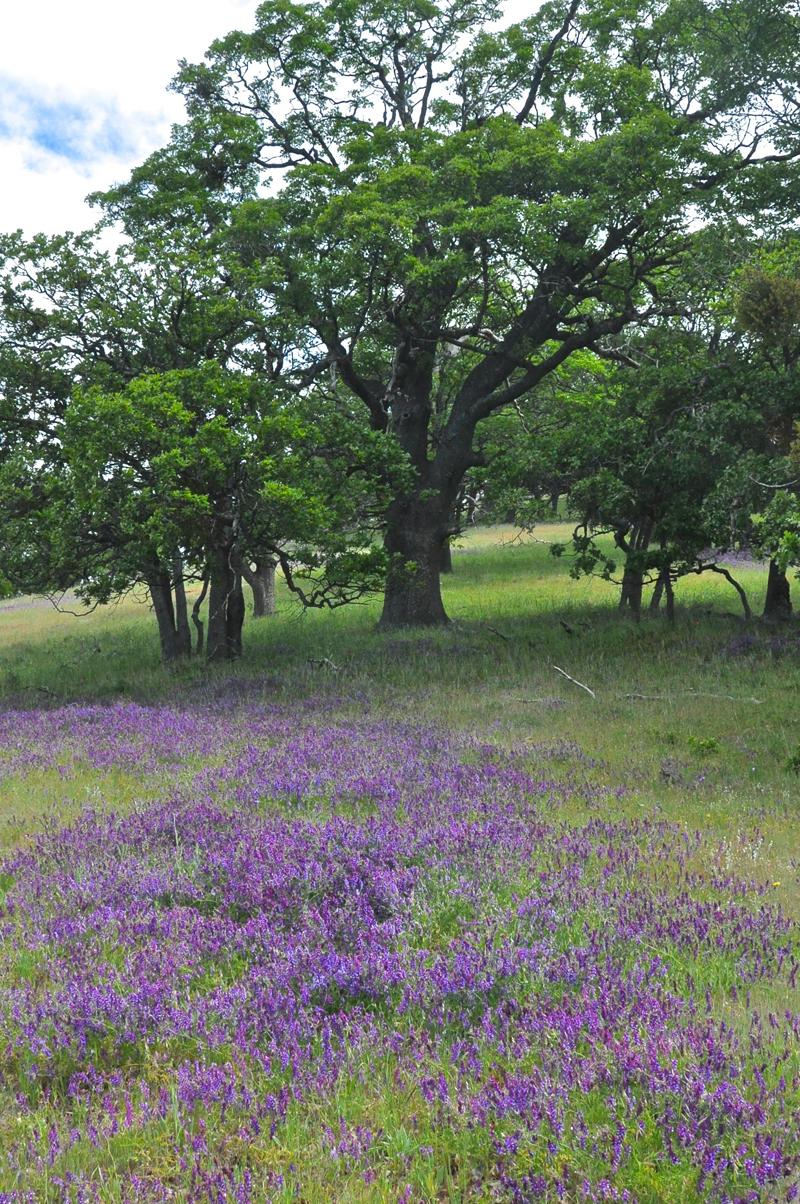 California Black Oak <em>(Quercus kelloggii)</em> with Winter Vetch <em>(Vicia villas)</em> in understory