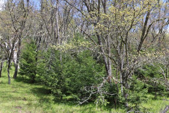 Example of Conifer Encroachment on Black Oak