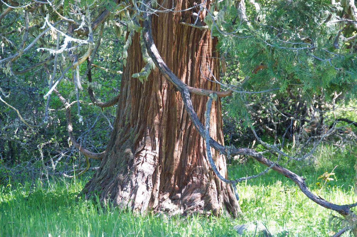 Old-Growth Incense Cedar <em>(Calocedrus decurrent)</em>