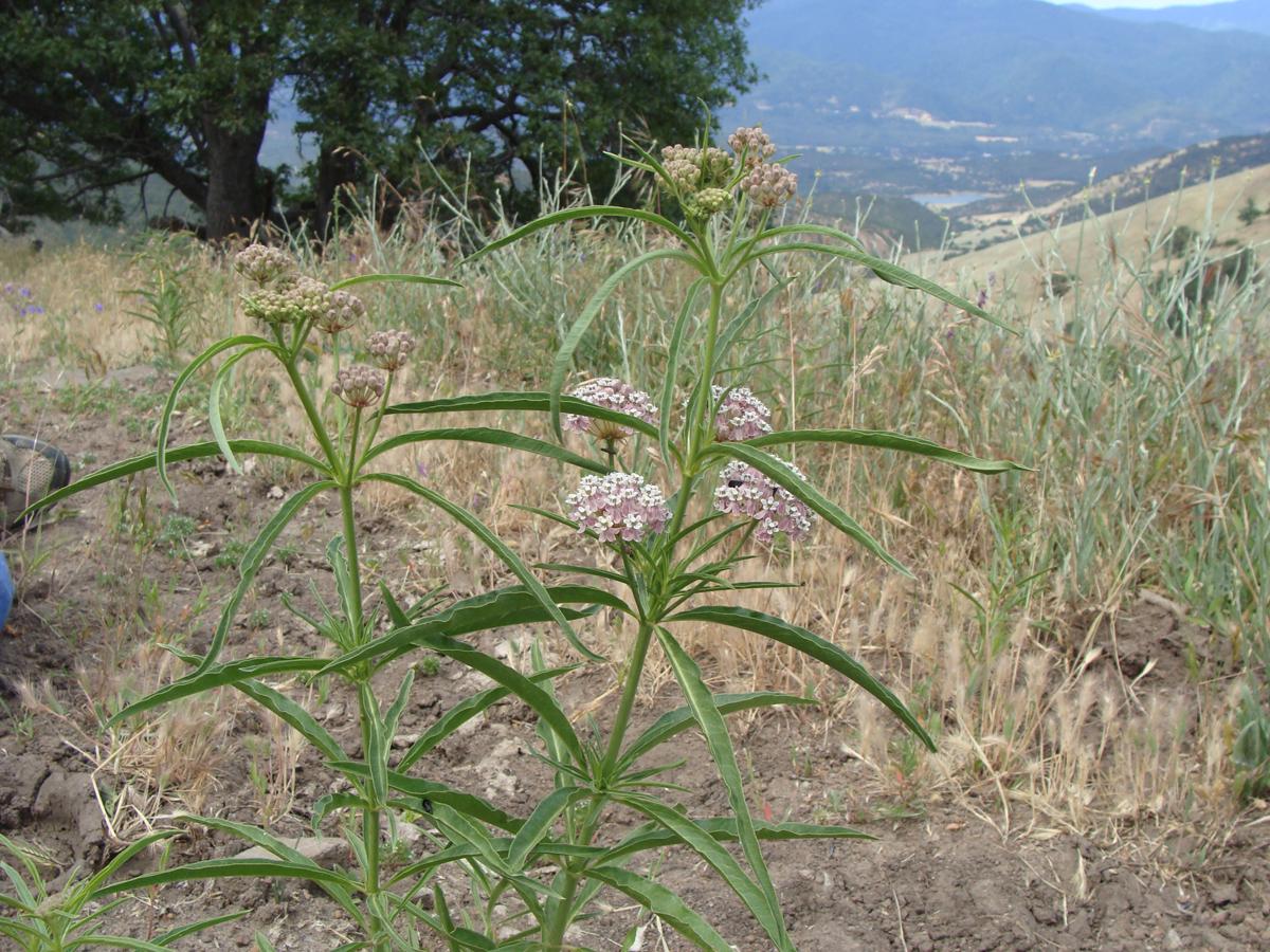Narrow leaf Milkweed <em>(Asclepias fascicularis)</em>