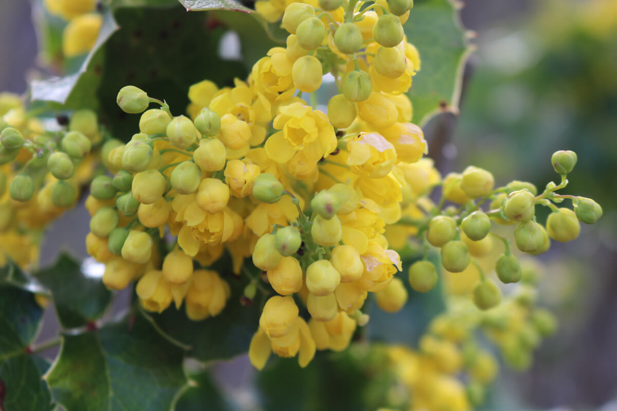 Tall Oregon Grape <em>(Mahonia aquifolium)</em> in flower