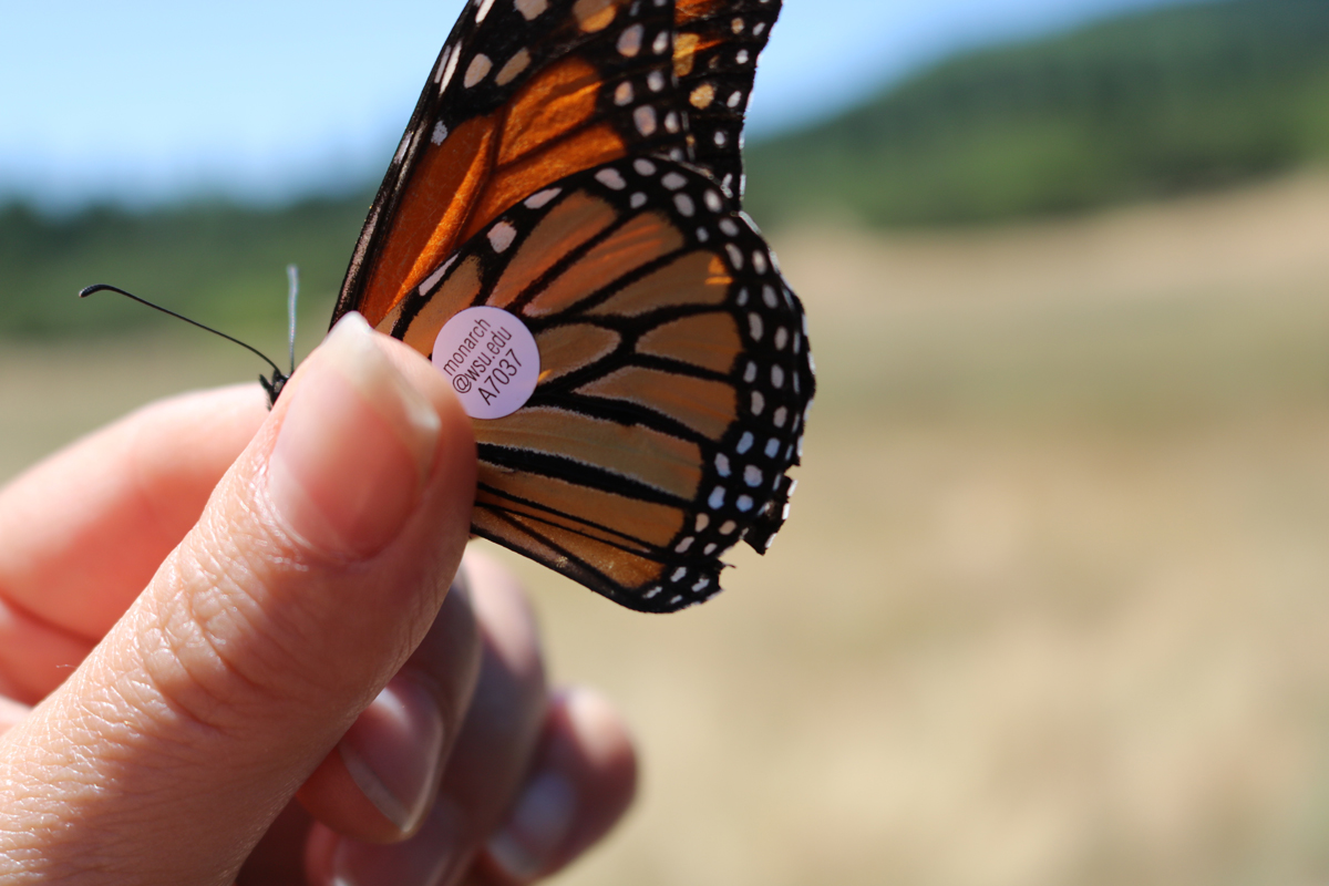 Monarch Butterfly Research
