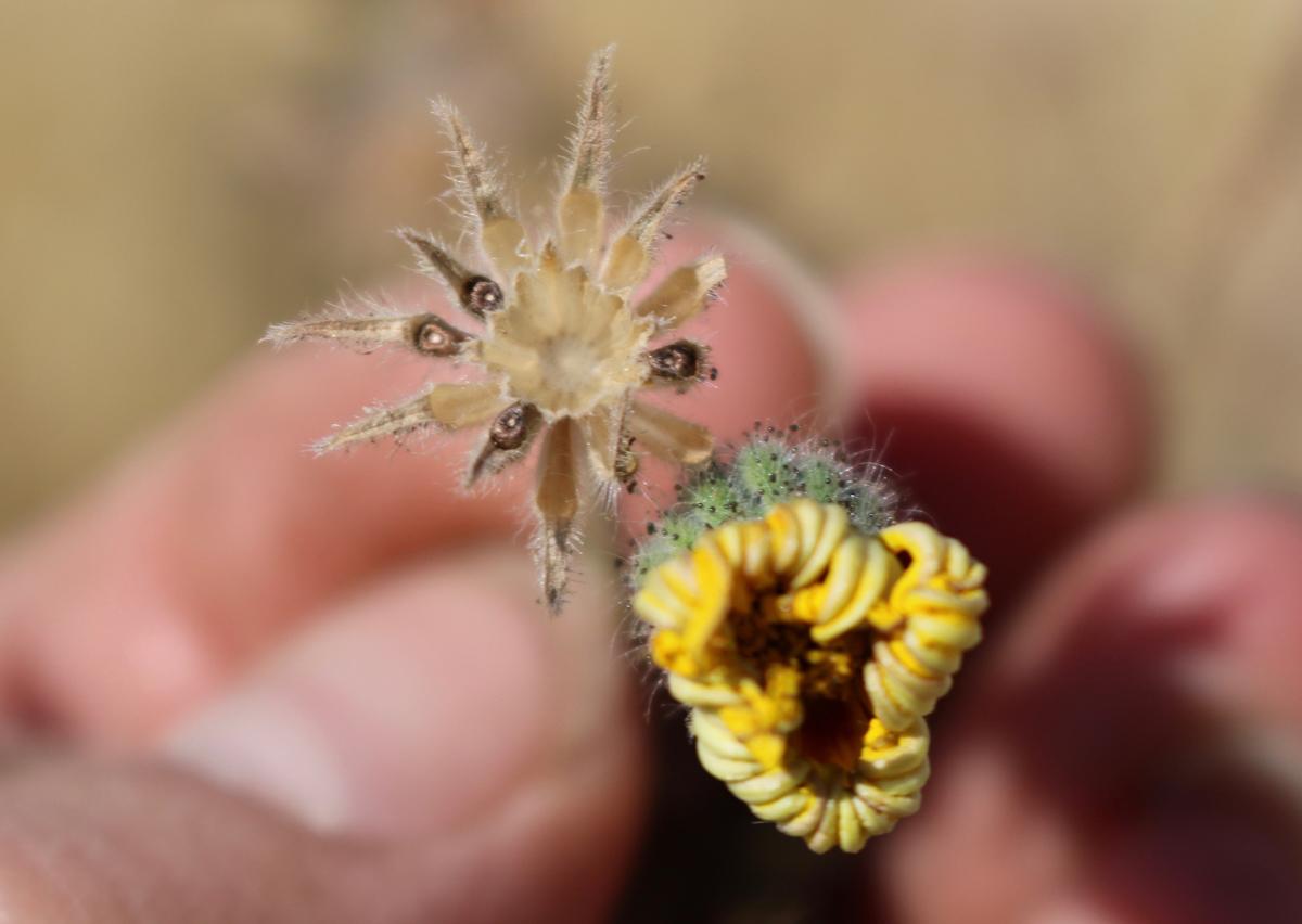 Common Tarweed <em>(Madia elegans)</em>
