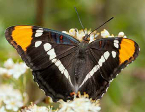 Other butterflies included the California Sister (Adelpha californica). Photo © Rob Santry.